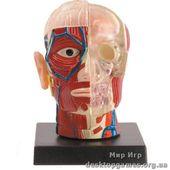 Мозг и череп